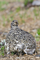 White-tailed Ptarmigans (Lagopus leucurus)--hen brooding young chicks.  Mount Rainier National Park, WA.  Summer.