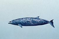 Stejneger's Beaked Whale