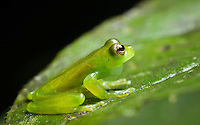 Spined Glass Frog (cochranella spinosa) - Like other glass frogs, this species is nearly transparent and favors vegetation alongside small, clear jungle streams. Siquirres, Costa Rica.
