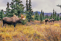 Three bull moose eye each other in the dominance struggle during mating season, boreal forest, autumn, Denali National Park, Alaska