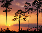Everglades National Park, Florida: Slash pine (Pinus elliottii) on the open saw grass prairie silhouetted by setting sun