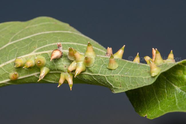 Hackberry Thorn Gall Midge (Celticecis spiniformis)
