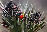 A ladybug works in a cactus bloom in Death Valley, Ca., on Tuesday, March 15, 2016. <br />
