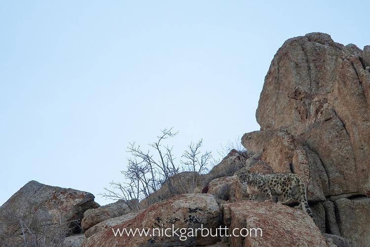 Wild snow leopard (Panthera uncia)(sometimes Uncia uncia) climbing through rocky terrain. Ladakh Range, Western Himalayas, Ladakh, India.