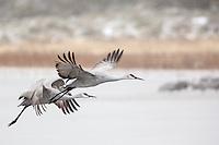 Sandhill Cranes in Flight at Bosque del Apache, New Mexico