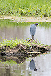Damon, Texas; a little blue heron standing on a small island reflects in the surface of the slough while foraging for food