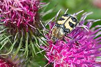 Gebänderter Pinselkäfer, Pinselkäfer, Blütenbesuch, Trichius fasciatus, bee chafer, Eurasian Bee Beetle, Bee Beetle, La Trichie fasciée