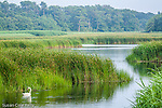 A Mute Swan floats on the Herring River in Harwich, Cape Cod, MA, USA