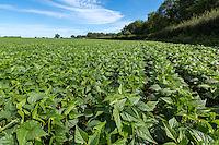 Dwarf French Beans - Norfolk, August