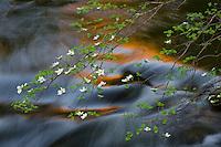 Mountain Dogwood (Cornus nuttallii) and Merced River in spring.