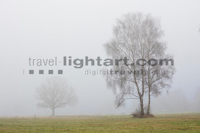 Tree in fog, Baum im Nebel. Schaanwald, Mauren, Rheintal, Rhine-valley, Liechtenstein.