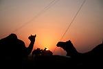 Camels at the camel trading ground in Pushkar. Rajasthan, India. Arindam Mukherjee.