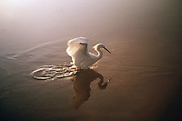 A Snowy egret (E. thula) hunting at sunrise.