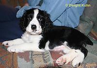 SH25-556z English Springer Spaniel puppy