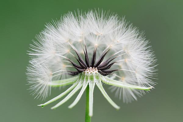 Texas dandelion, Desert-chicory (Pyrrhopappus pauciflorus), seed head or clock, Dinero, Lake Corpus Christi, South Texas, USA