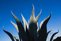 Agave, Century Plant, Agavaceae, Rio Grande Valley,Texas, USA