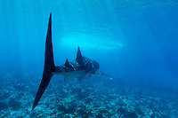 Whale shark (rhincodon typus) swimming over reef in Ari Atoll, Maldives.