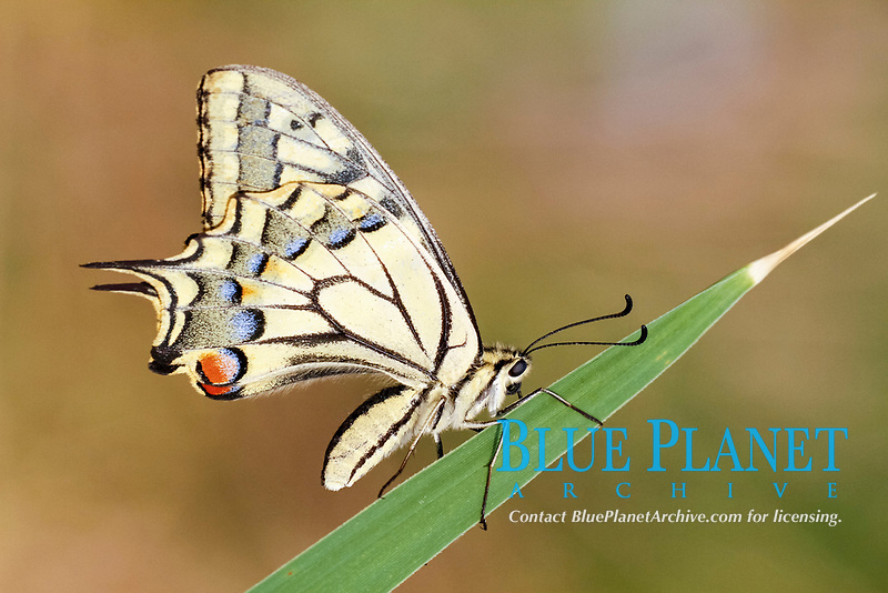 Common Swallowtail (Papilio machaon), adult, underside, resting on reed leaf, Lesbos, Greece, Europe