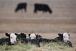 Yearling cattle in a field in Montana in spring