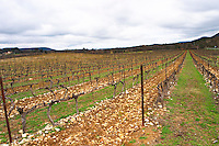 View over the vineyard at Domaine de Triennes Cordon Royat training Grape variety Cabernet Sauvignon Domaine de Triennes Nans-les-Pins Var Cote d'Azur France