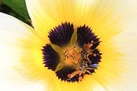 Tetragonsica angustula bee///Tetragonsica angustula.