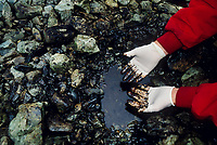 Remaining crude oil from the Exxon Valdez Oil spill trapped under rocks on a beach four years after the spill, 1993. Elrington Island, Prince William Sound, Alaska