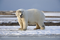 A polar bear yawns while standing near the shoreline of a barrier island outsidet Kaktovik, Alaska. Every fall, polar bears gather near the community, on the northern edge of ANWR, waiting for the Arctic Ocean to freeze. The bears have become a symbol of global warming.
