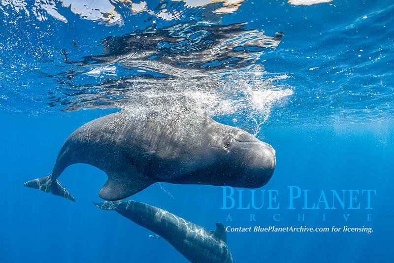 Short-finned pilot whale (Globicephala macrorhynchus) swimming upsidedown below surface. South Tenerife, Canary Islands, Atlantic Ocean