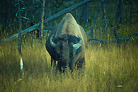 Bison grazing in Yellowstone Park