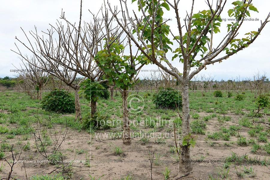 MOZAMBIQUE, Chimoio, BAGC Beira agricultural growth corridor, failed and abandoned 2000 hectare Jatropha farm of Sun Biofuels Mozambique SA which was planted as biofuel project in 2010 at old portuguese tobacco farm, the plan was to reach 10.000 hectares in 2015  / MOSAMBIK, Chimoio, BAGC Beira agricultural growth corridor, gescheiterte und aufgegebene 2000 Hektar Jatropha Farm of Sun Biofuels Mozambique SA, die 2010 als Biosprit Projekt auf einer alten Tabakplantage gepflanzt wurde, laut Planung sollte die Pflanzung 2015 auf 10.000 Hektar ausdehnt werden, das Oel der Jatropha Nuesse wurde über die finnische Firma Neste Oil fuer ein Lufthansa Biosprit Versuchsprojekt verwendet
