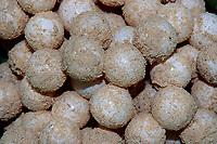 green sea turtle eggs, Chelonia mydas, Sipadan, Sabah, Borneo, Malaysia, Celebes Sea, Indo-Pacific Ocean