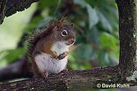 0705-1004  Red Squirrel, Tamiasciurus hudsonicus  © David Kuhn/Dwight Kuhn Photography
