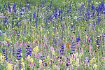 Numerous flower species, with meadow clary (Salvia pratensis) prominent, flourishing in an ancient Alpine meadow. Nordtirol, Austrian Alps, Austria, June.