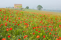 Italy, Tuscany. A foggy morning amidst a field of poppies.