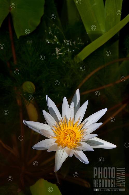 Sunlit white lily on the Garden Isle of Kauai.