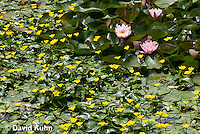 0723-1001  Ornamental Garden Pond with Full Bloom Water Lilies - Nymphaea  © David Kuhn/Dwight Kuhn Photography