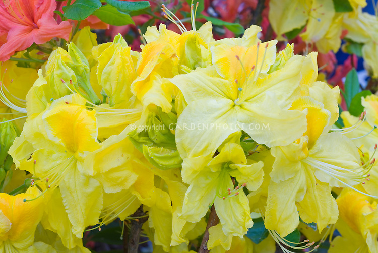 Rhododendron 'Chetco' yellow flowers