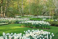 "Hollande, région des champs de fleurs, Lisse, Keukenhof, massif de narcisses (Narcissus) et tulipes (Tulipa) // Holland, ""Dune and Bulb Region"" in April, Lisse, Keukenhof, mass of white daffodils (Narcissus) and pink tulips (Tulipa)."