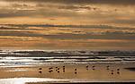 Shorebirds, Olympic Peninsula, Washington, USA