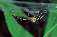 Deckennetzspinne, Deckennetz-Spinne, unterhalb des Netz, Spinnennetz, Floronia bucculenta, Floronia spider, sheet-web weaver, Baldachinspinnen, Linyphiidae