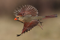 Northern Cardinal female on a sunny day in January, 2014.