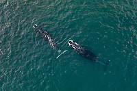 Aerial view of two bowhead whales, Balaena mysticetus, Sea of Okhotsk, Russia, Pacific Ocean