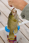 Fisherman holding a bass fish on a hook and line