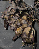 0812-1004  Group of Straw Colored Fruit Bats Hanging Upside Down in Roost, Eidolon helvum  © David Kuhn/Dwight Kuhn Photography