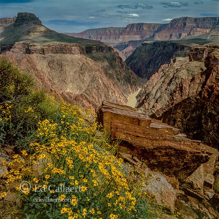 Brittlebush, Tonto Plateau, Colorado River, Grand Canyon National Park, Arizona