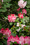 Close up detail of pale pink and fuschia-colored rhododendron blooms in dappled sunshine at the Dunn Gardens, a former private estate near Seattle now run as a woodland botanical garden and available for touring by appointment and fee.
