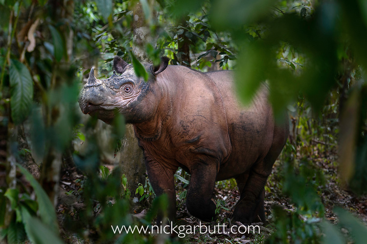 Adult Sumatran rhino (Dicerorhinus sumatrensis) (also known as hairy rhinoceros or Asian two-horned rhinoceros) in dense forest. Captive-breeding facility, Way Kambas National Park, Sumatra, Indonesia. (available for licence through International Rhino Fund or Save the Rhino International).
