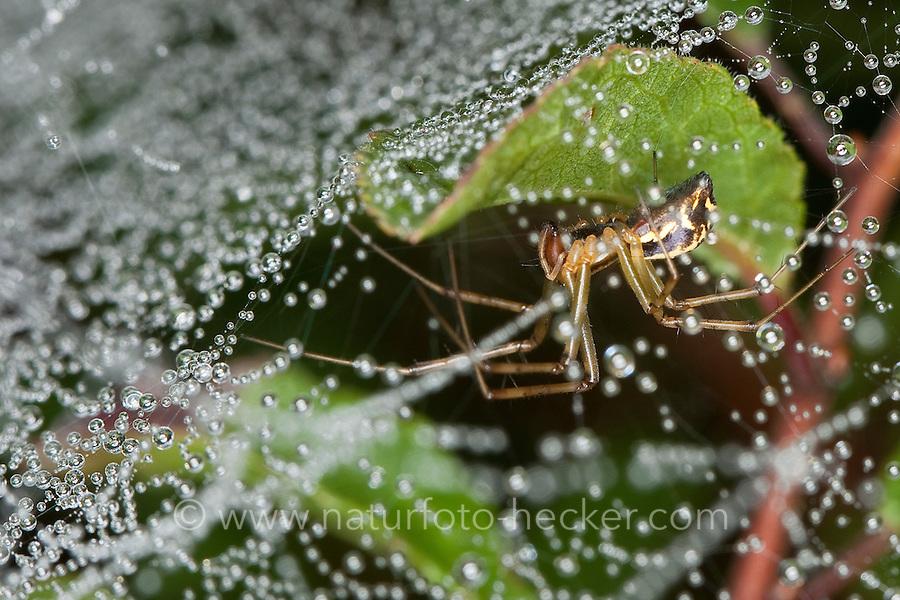 Gemeine Baldachinspinne, Baldachin-Spinne im Netz, Linyphia triangularis, European sheet-web spider, Money Spider, sheet-web weaver, line-weaving spider, line weaver