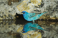 Indigo Bunting, Passerina cyanea, male drinking from spring fed pond, Uvalde County, Hill Country, Texas, USA