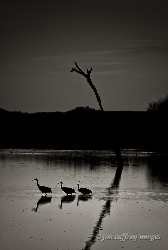 Three cranes wading in the shallows of the Flight Deck Pond in Bosque del Apache National Wildlife Refuge.